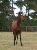 Animal com um ano de idade do puro-sangue Imagem de Stock Royalty Free