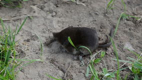 Animal Common shrew Sorex araneus on summer grass stock video footage