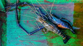 Animal, Cooking, Crustacean, Food, Freshness. Raw giant freshwater prawn at morning market in Asia royalty free stock images