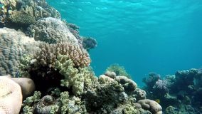 Animal, The corals and fish. Coral reef. Exotic fishes. The beauty of the underwater world. Life in the ocean. Diving on a tropical reef. Submarine life. Clear stock video footage