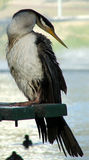 Animal - Cormorant. Cormorant perches and looks over shoulder royalty free stock image