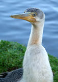 Animal - Cormorant. Cormorant bird royalty free stock images