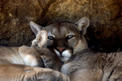Animal - Cougar (Puma concolor stayleyanan) Stock Photography