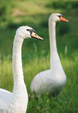 Animal couple - swans Royalty Free Stock Images