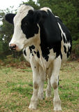 Animal - cow front Stock Image