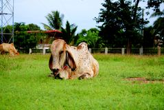 Animal. The cow animal in Thailand, its a Mammalia Royalty Free Stock Image