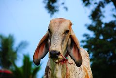 Animal. The cow animal in Thailand, its a Mammalia Stock Images