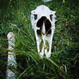 Animal cranium Royalty Free Stock Image