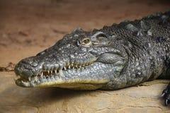 Aligator. Animal creature fauna reptile head neck eye nose zoo zoo skin teeth water Stock Images