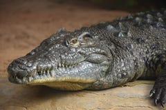 Aligator. Animal creature fauna reptile head neck eye nose zoo zoo skin teeth water Royalty Free Stock Image
