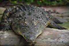 Aligator. Animal creature fauna reptile head neck eye nose zoo zoo skin teeth water Royalty Free Stock Photo