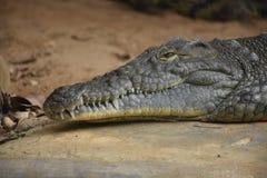 Aligator. Animal creature fauna reptile head neck eye nose zoo zoo skin teeth water Royalty Free Stock Photography