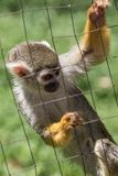 Common squirrel monkey behind cage at zoo royalty free stock photos