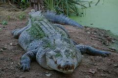 Animal, Crocodile, Wild, Predator Stock Photography