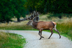Animal crossing road. Deer in the forest. Red deer stag, bellow majestic powerful adult animal outside autumn forest, big animal i Royalty Free Stock Photography