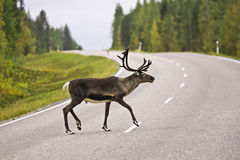 Animal crossing the road - rein deer in Sweden Royalty Free Stock Photography