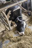 Animal Cruelty. With a chained cow at a dairy farm stock image