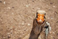 Funny and very curious goose. royalty free stock photos