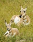 Animal d'antilope avec la mère Images stock