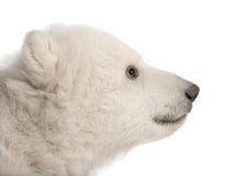 Animal d'ours blanc, maritimus d'Ursus, 3 mois photographie stock libre de droits