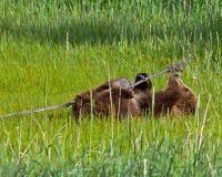 Animal d'ours brun d'Alaska Photographie stock libre de droits
