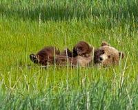 Animal d'ours brun d'Alaska Photos stock
