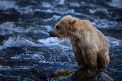 Animal d'ours brun d'Alaska Photos libres de droits