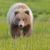 Animal d'ours de approche Photos stock