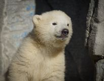 Animal d'ours image stock