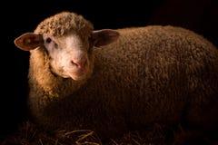 Animal da fazenda de criação dos carneiros Imagem de Stock Royalty Free