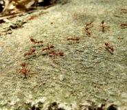 Animal da formiga do Rad pequeno Imagens de Stock Royalty Free
