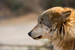 Animal da naturezado umava do lobo Å Imagens de Stock
