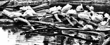 Animal dans le ZOO Regard artistique en noir et blanc image libre de droits