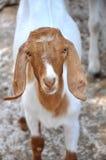Animal de chèvre Photos stock