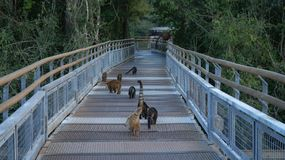 Animal de Coati chez les chutes d'Iguaçu en Argentine Image libre de droits