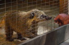Animal de Coati dans la cage de zoo Photos stock
