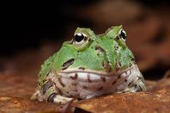 Animal de compagnie exotique de grenouille de Pacman photographie stock libre de droits