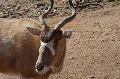 Animal de cuernos imagen de archivo libre de regalías
