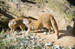 Animal de deux déserts image stock