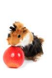Animal de estimação adorável da cobaia com a maçã no branco Imagem de Stock Royalty Free