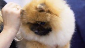 Animal de estimação adorável do puro-sangue na exposição do cão video estoque