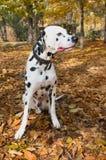 Animal de estimação animal do dalmatian do cão Fotografia de Stock
