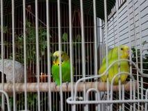 Animal de estimação bonito colorido curioso dos budgies Fotografia de Stock Royalty Free