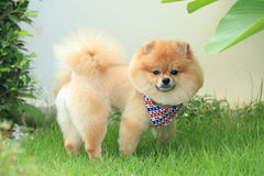 Animal de estimação bonito do cachorrinho do cão de Pomeranian Imagem de Stock Royalty Free