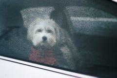 Animal de estimação com personalidade Fotografia de Stock Royalty Free