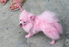 Animal de estimação cor-de-rosa de Pomeranian Fotografia de Stock