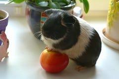 Animal de estimação da cobaia Fotografia de Stock Royalty Free