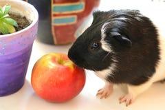 Animal de estimação da cobaia Imagem de Stock Royalty Free