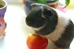 Animal de estimação da cobaia Foto de Stock Royalty Free