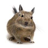 Animal de estimação de Degu Fotos de Stock Royalty Free